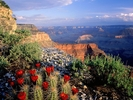 Claret Cup Cactus, Grand Canyon National Park, Arizona.jpg