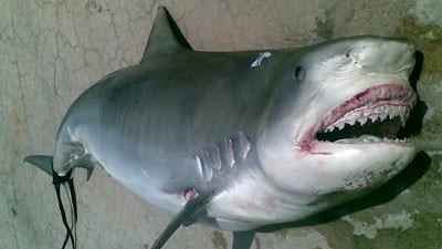 shark_98b.jpg