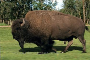 buffalo_bison_304.jpg
