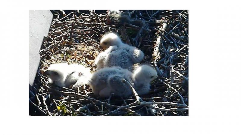 Red Tailed Hawk chicks.jpg